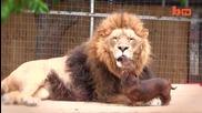Сладки приятели - Лъв и Куче - Целувка