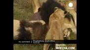 Човек обичан от лъвове