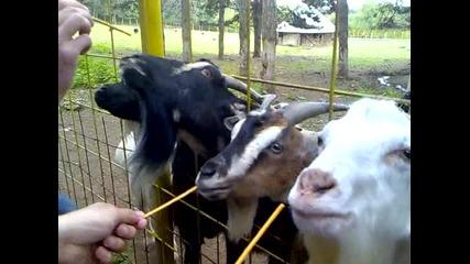 gladni kozi na aqzmoto