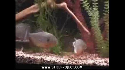 Невероятно - ПирАни Изяждат Жива Мишка
