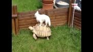 Куче се вози на гърба на костенурка