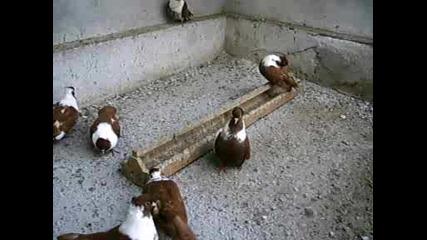 Чирпански Гълъби На Бижика От Белозем