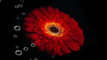 Цветя с божествен аромат - gerbera ... (музыка Игорь Двуреченский) ...