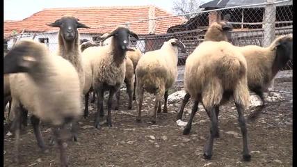 Каракачаните - какво пренесоха/репортаж от Сливенско/ -