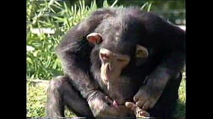 Маймунка Прави Пиш и Пие Vbox7