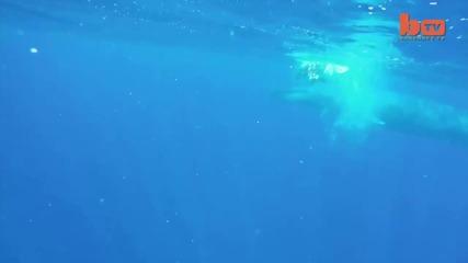 Синият кит заснет от безпилотен летателен апарат - да плуваш с най-голямото животно в света!