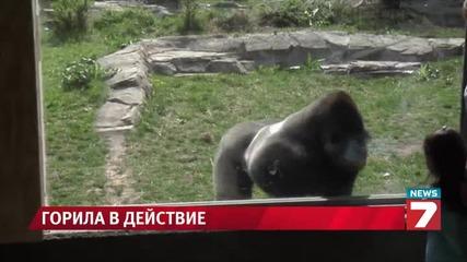 Горила счупи прозорец за наблюдение в зоопарк и стана известна в интернет