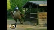 пребиване с камила