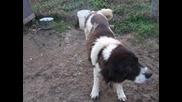 Сара - Българско Овчарско Куче