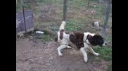 Българско овчарско куче - Сара