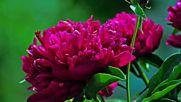 Peonies Flowers Божури Цветя