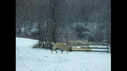 Средноазиатска овчарка - Айра