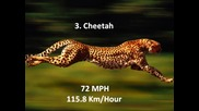 Топ 10 най-бързите животни на земята - ( Hd )
