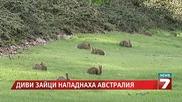 Диви зайци нападнаха Австралия