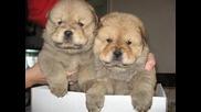 Порода кучета Чау - чау