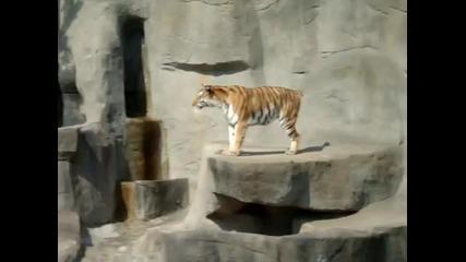 Птица напада тигър