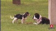 Плюшено куче пази яростно кокала си от истинските кучета - скрита камера