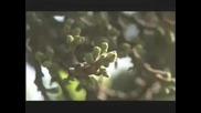 Царицата на дърветата - Sycamore fig