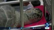 """Хирурзи откриха как жива водна костенурка може да се """"превърне"""" касичка за монети"""