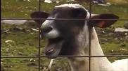 Смях с козите и овцете - The Ultimate Goat Edition Supercut