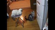Коте се моли пред хладилника за храна