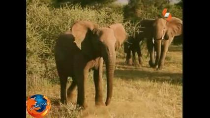 Енциклопедията на Животните - Слон Бг Аудио Високо Качество Tv Rip