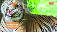 Моят най-добър приятел е бенгалски тигър
