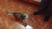 Котка полудява , като помирише консерва от маслини