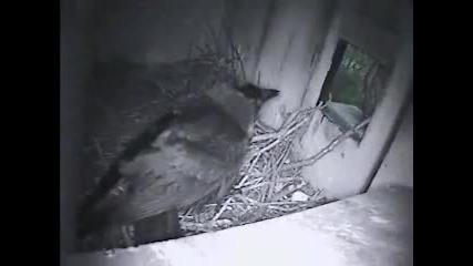 Керкенез се опитва да изгони лакома врана от гнездото си