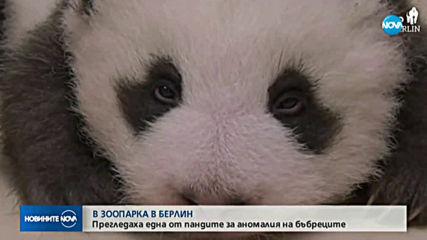 Прегледаха една от пандите в зоопарка в Берлин за аномалия на бъбреците