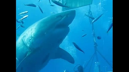 Най-голямата бяла акула!!!!