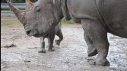 Бебе носорог се учи да се търкаля