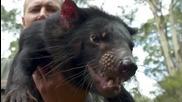 Тасманийски дявол ..