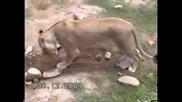 Лъв и Ягуар