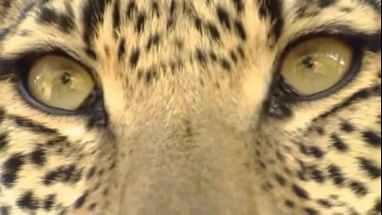 горски котки
