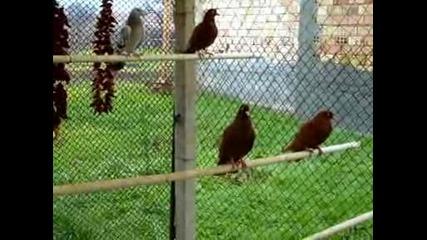 Гълъби - Партизани