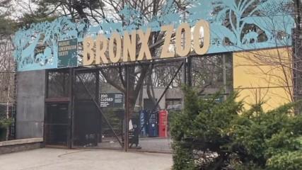 Тигър в нюйоркски зоопарк е тестван положително за Ковид-19