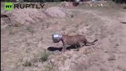 Wild Leopard Gets a Pot Stuck on his Head