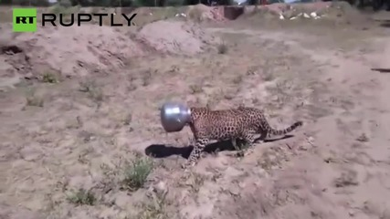 Wild Leopard Gets a Pot Stuck on his Head