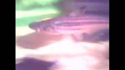 Малка акула за аквариум