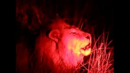 Лъв Прогонва Други От Територията Си