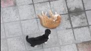 Караница между котки