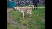 Кангал - най - голямото куче в света