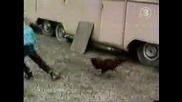 Дете Бяга От Кокошка