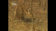 Неуспешно чивтосване на тигри