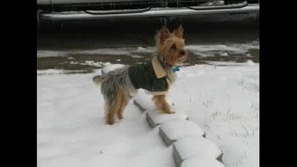 yorkshire terrier ivomalkiq