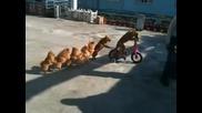 7 кучета се возят на 1 колело - смях