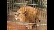 Невероятно Говорещ Лъв