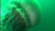 Да Плуваш С Най-голямата медуза