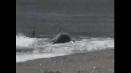 Китове изяждат човек!